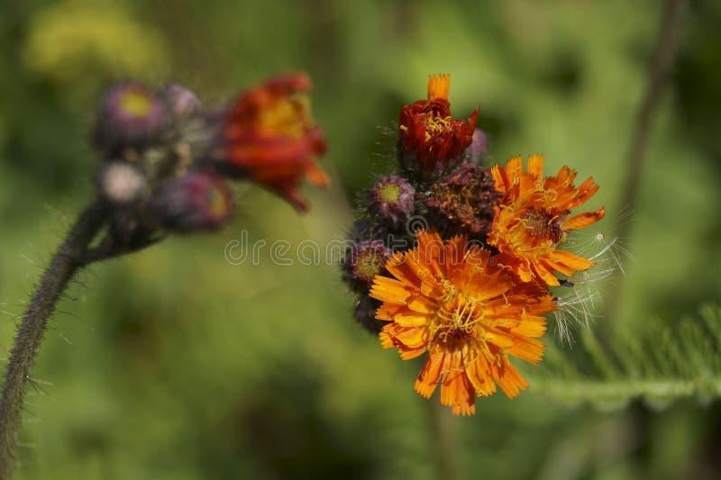 Hieraciumaurantiacum för orange hawkweed arkivbilder