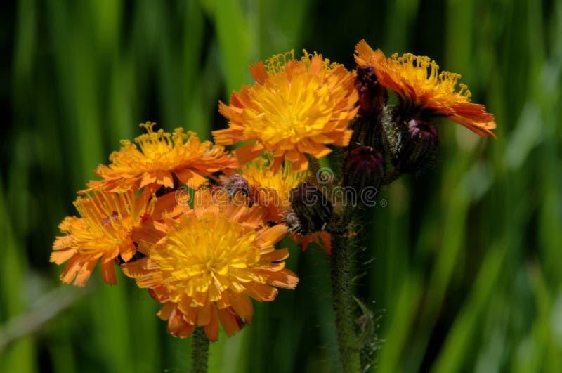 Hieraciumaurantiacum; orange hawkweed nära Davos arkivbild