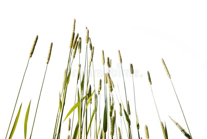 Hierba alta aislada en el fondo blanco foto de archivo