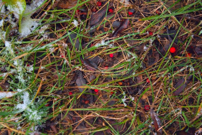 Hierba bajo la nieve Jard?n nevado en el invierno temprano imagen de archivo