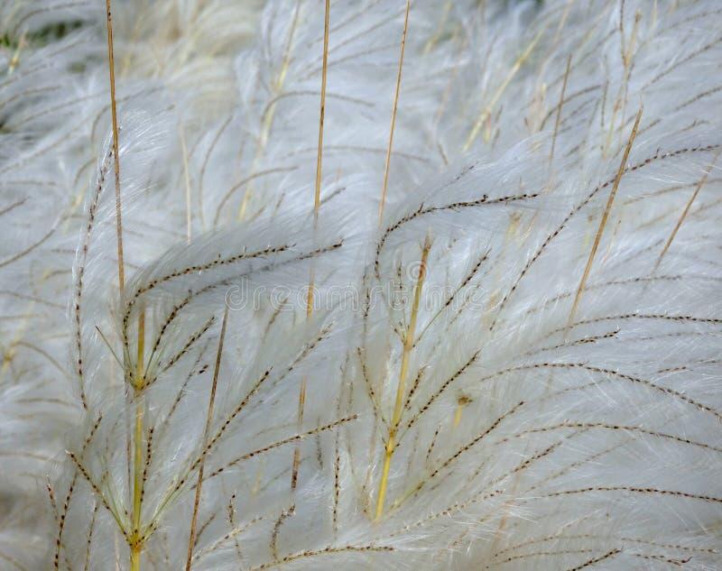 Hierba blanca de Kash o de Kans foto de archivo