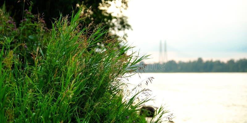Hierba cerca del agua Lago reservado cerca del paisaje verde del bosque fotografía de archivo libre de regalías