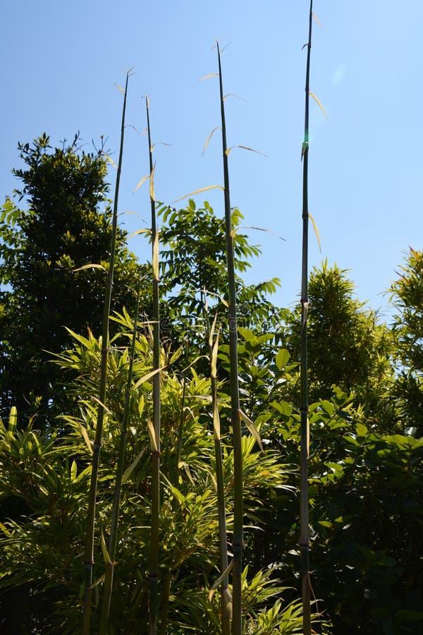 Hierba de bambú imágenes de archivo libres de regalías