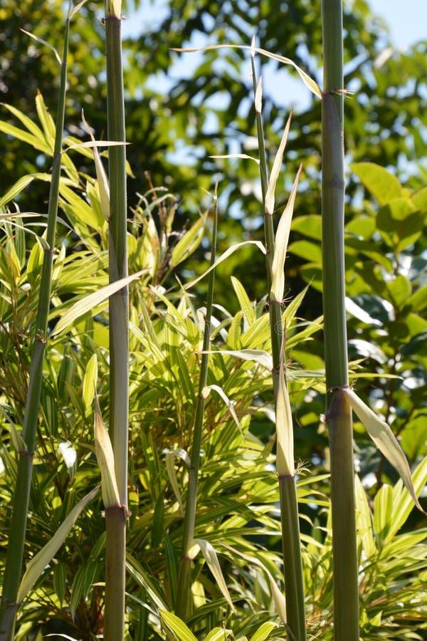 Hierba de bambú fotos de archivo