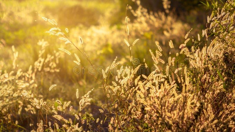 Hierba de fuente con un hermoso en fondo de la puesta del sol imagen de archivo libre de regalías