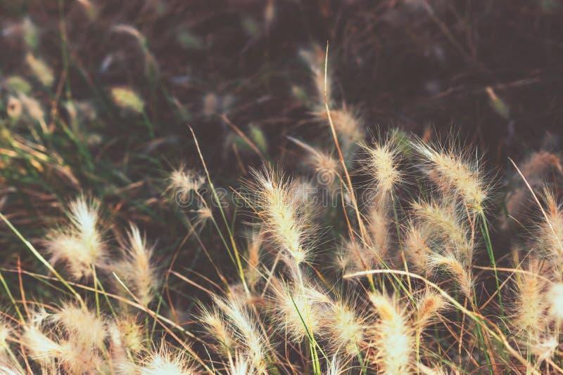Hierba de fuente mullida del conejito de Borgoña del enano en un parque España Plantilla del papel pintado, imagen inspirada de l fotos de archivo libres de regalías