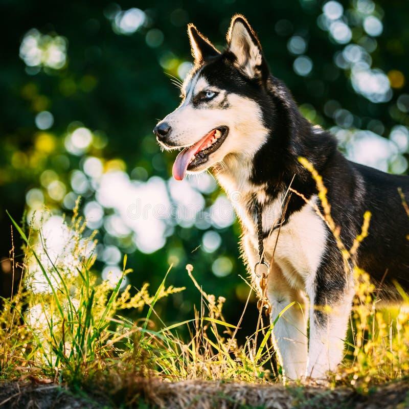 Hierba de Husky Dog Sitting In Green al aire libre Verano imagenes de archivo