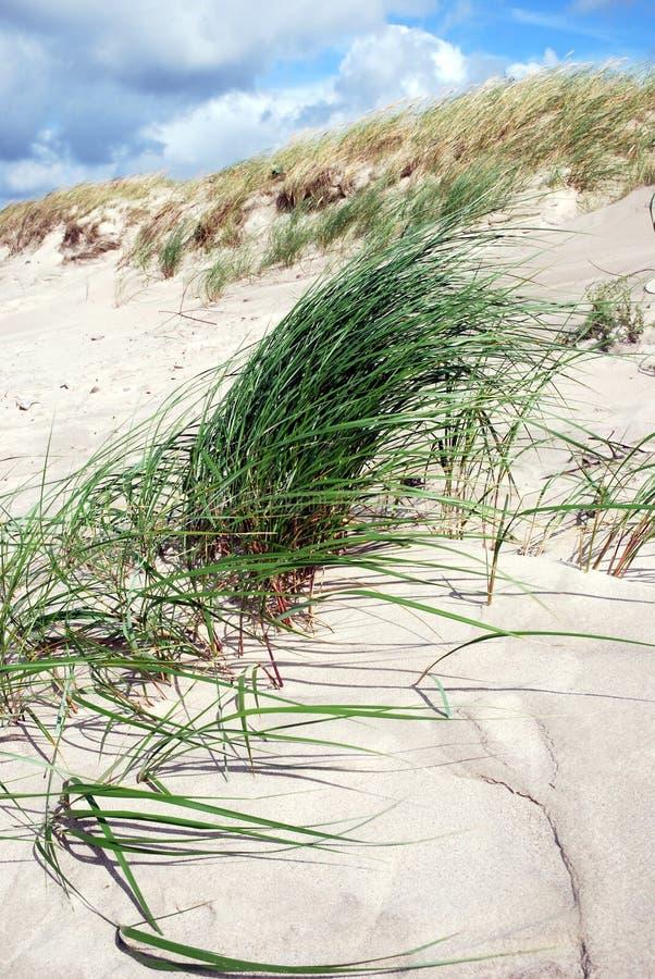 Hierba de la duna en el viento foto de archivo libre de regalías