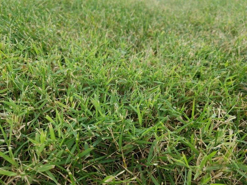 Hierba de la mala hierba de Nimblewill imágenes de archivo libres de regalías