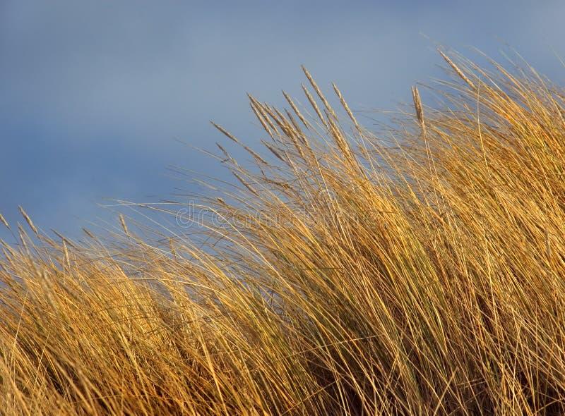 Hierba de la playa de la arenaria fotos de archivo