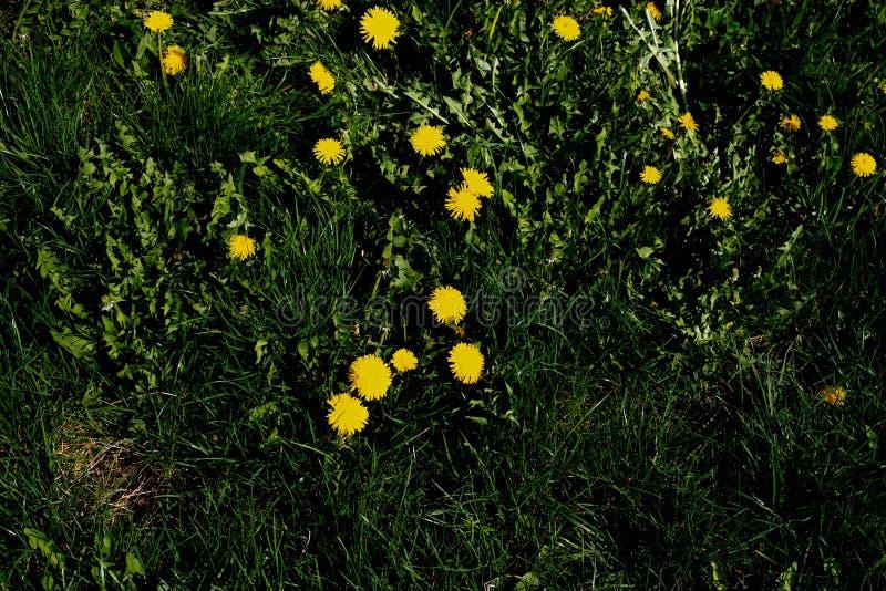 Hierba de la primavera con las flores foto de archivo