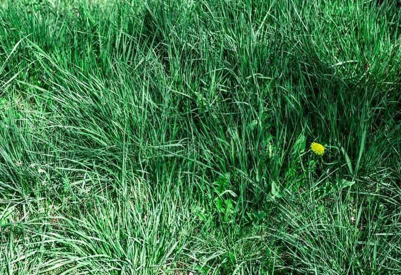 Hierba de la primavera con las flores fotografía de archivo libre de regalías