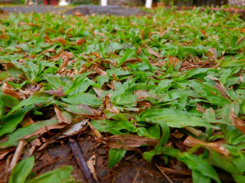 hierba de las Bermudas fotos de archivo libres de regalías