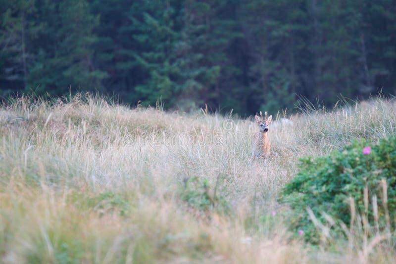Hierba de lyme de los ciervos de huevas imagen de archivo libre de regalías