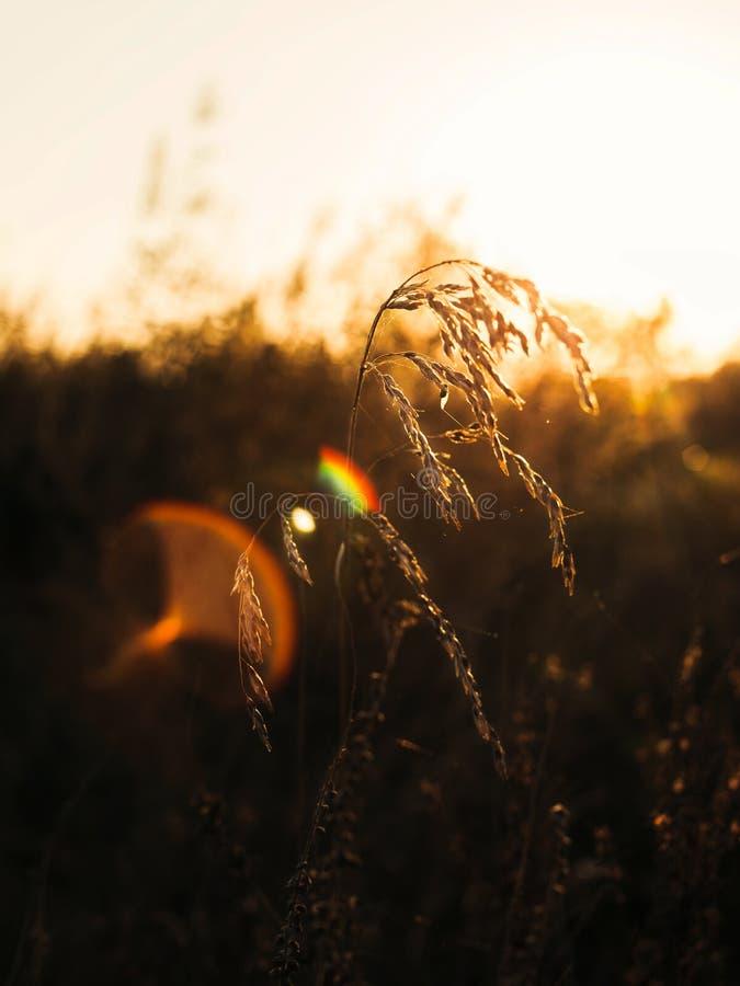 Hierba de oro de la hora y del heno fotografía de archivo