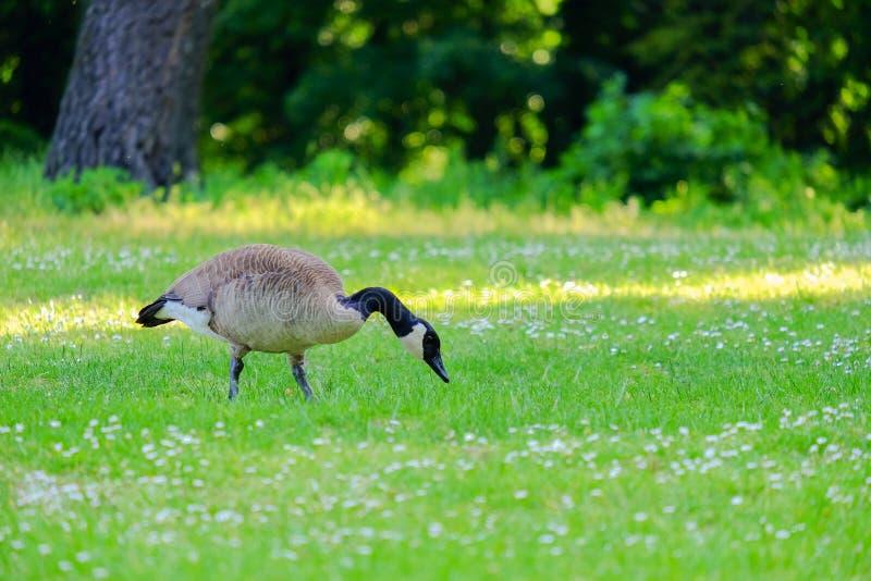 Hierba de picadura del ganso canadiense en un prado verde fotografía de archivo libre de regalías