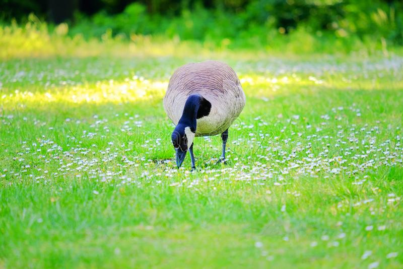 Hierba de picadura del ganso canadiense en un prado verde fotos de archivo