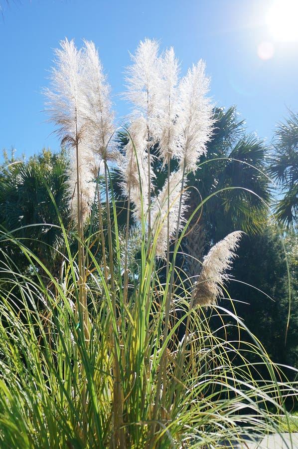 Hierba de Reed bajo luz del sol imagen de archivo libre de regalías