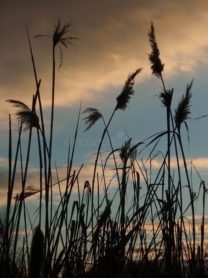 Hierba de Reed por la tarde imagen de archivo