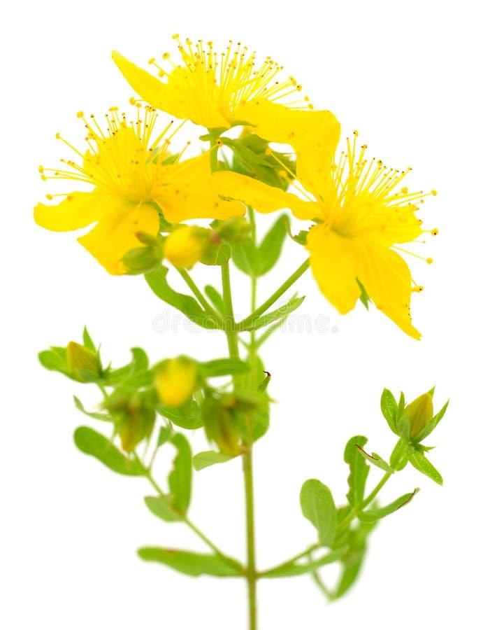 Hierba de San Juan, flor amarillo del arbusto tutsan, medicinal herbario fotografía de archivo