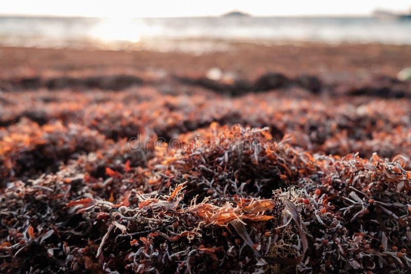 Hierba de Sargassum llenada en la orilla del mar del Caribe fotos de archivo libres de regalías