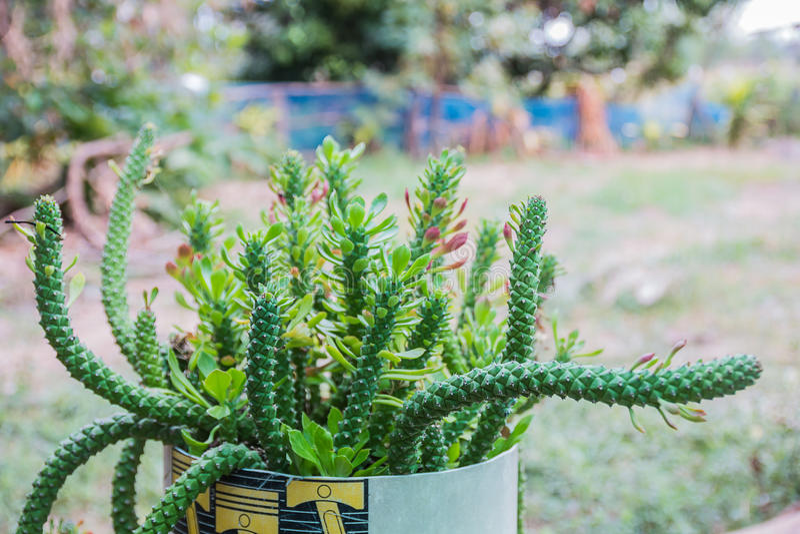 hierba del monadenium fotos de archivo
