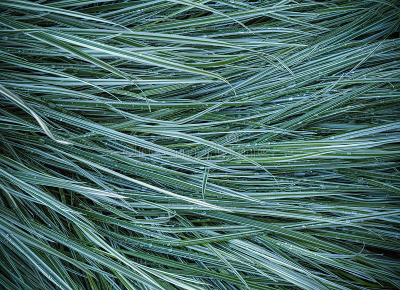 Hierba del Ryegrass en el jardín después de la lluvia foto de archivo