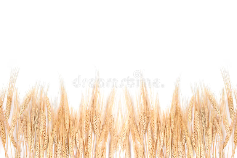 Hierba del trigo que confina con un fondo blanco imágenes de archivo libres de regalías