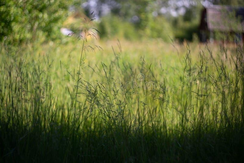 Hierba del verano en un día soleado en el fondo de una casa de campo borrosa foto de archivo