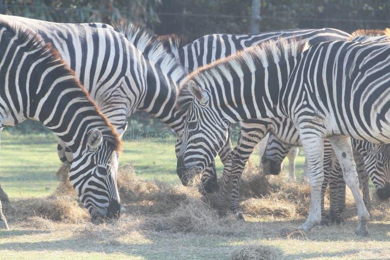 Hierba eatting de la cebra del grupo en safari fotos de archivo