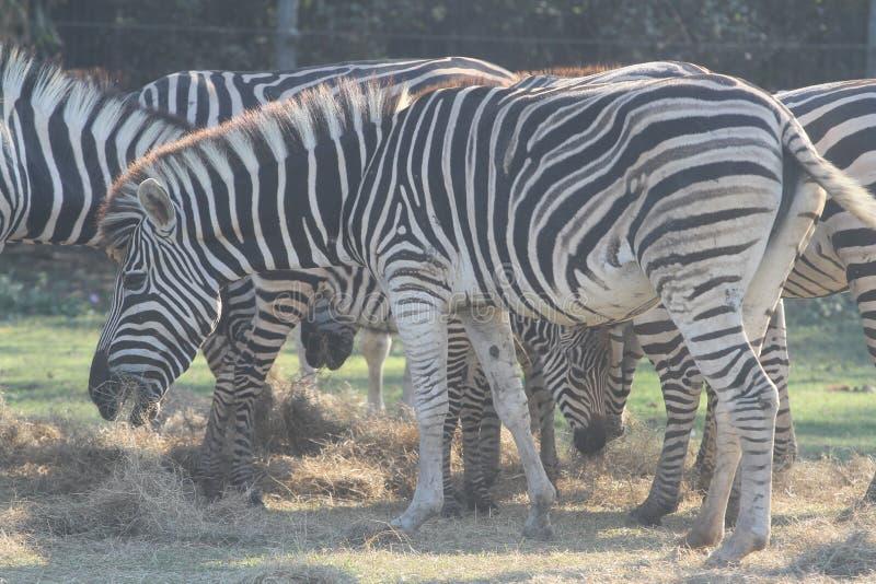 Hierba eatting de la cebra del grupo en safari imagenes de archivo