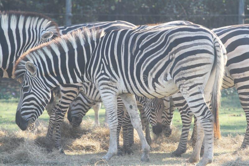 Hierba eatting de la cebra del grupo en safari fotos de archivo libres de regalías