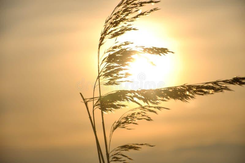 Hierba en la puesta del sol fotos de archivo