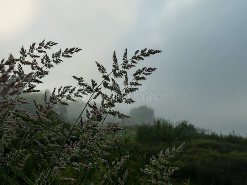 Hierba en una mañana de niebla foto de archivo