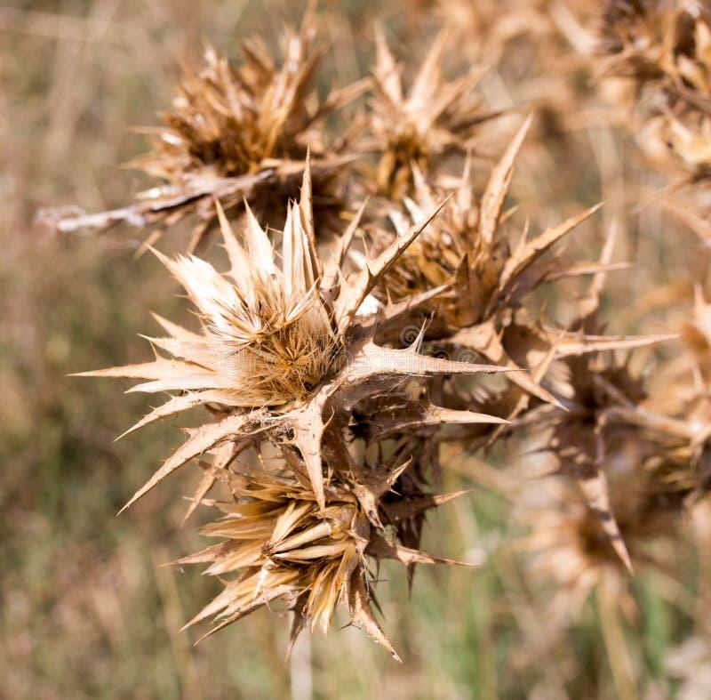 Hierba espinosa seca al aire libre fotografía de archivo