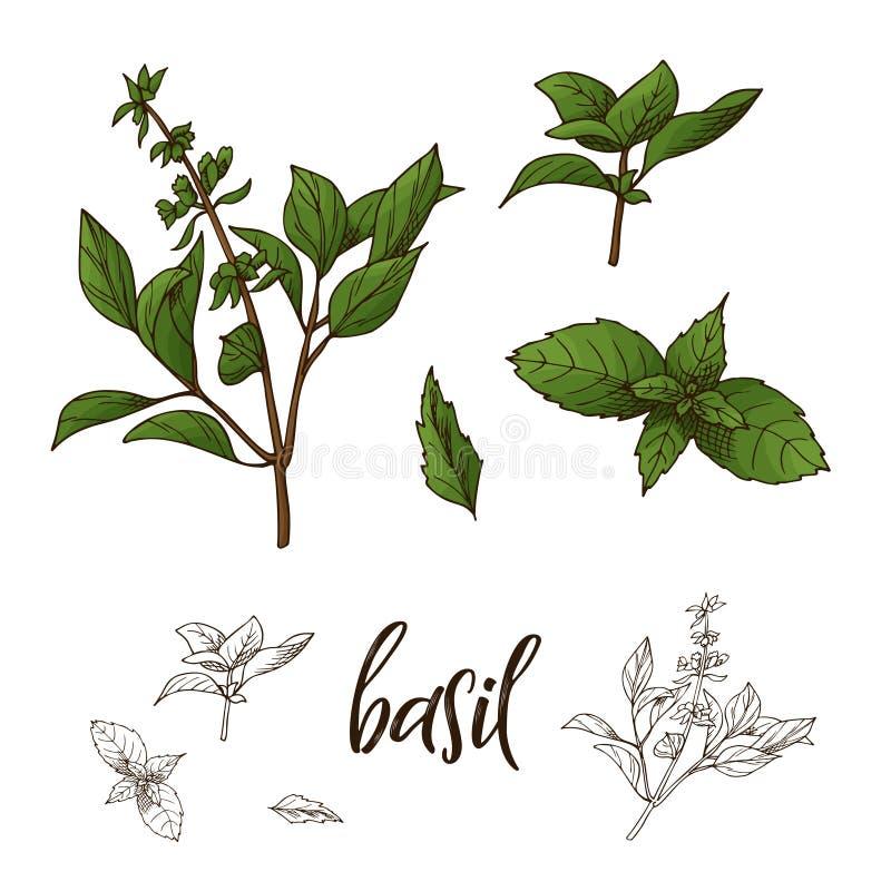 Hierba exhausta de la albahaca de la mano Elemento decorativo en estilo del bosquejo Ilustración del vector libre illustration