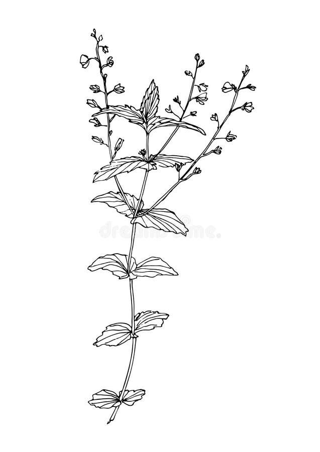 Hierba exhausta del campo de la mala hierba del flor de la mano Pintura de la planta del esquema por la tinta Ejemplo botánico de stock de ilustración