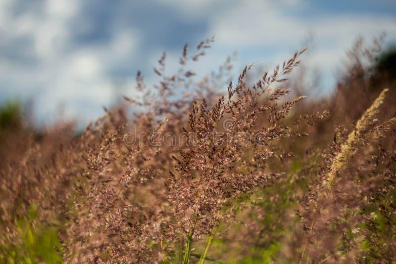 Hierba floreciente del campo contra el cielo azul Campo verde Oído y primer fragantes del bluegrass del prado imágenes de archivo libres de regalías
