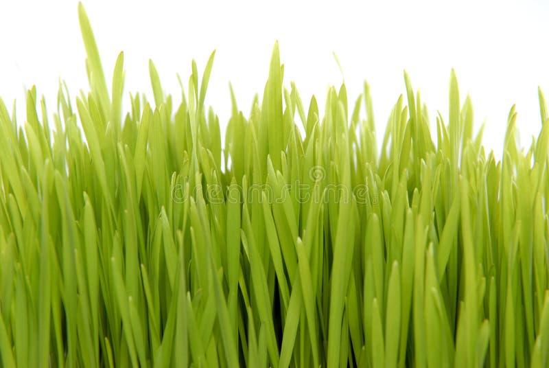 Hierba fresca aislada en blanco fotos de archivo libres de regalías