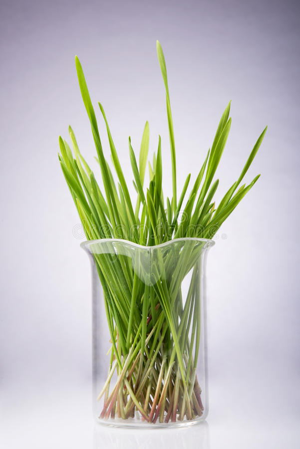 Hierba fresca del trigo del corte fotografía de archivo libre de regalías