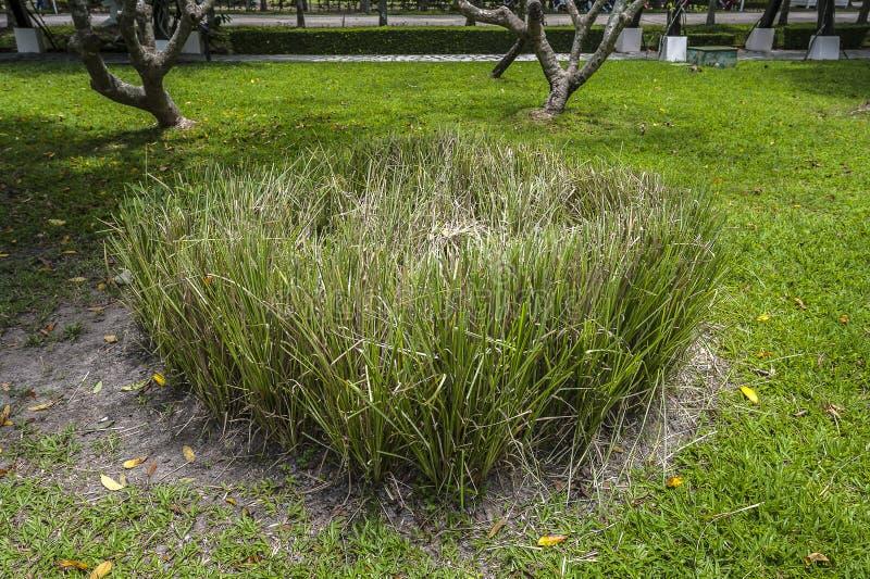 Hierba fresca verde del vetiver imágenes de archivo libres de regalías
