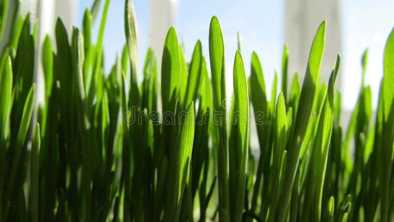 Hierba fresca verde en primavera foto de archivo libre de regalías