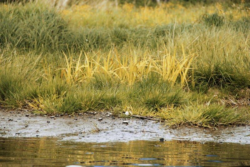 Hierba hermosa del pantano cerca de un pequeño lago imagen de archivo