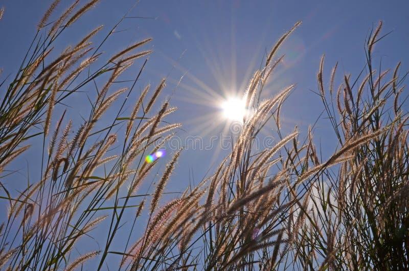 Hierba hermosa en rayo de la luz del sol fotografía de archivo libre de regalías