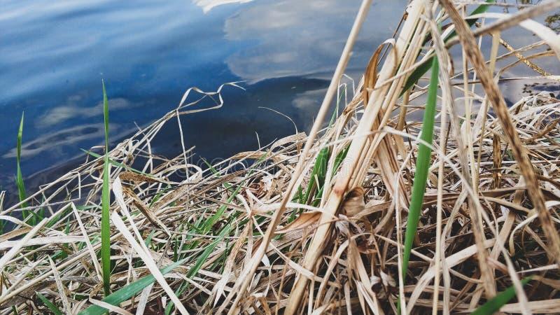Hierba joven y seca cerca del primer del lago fotos de archivo libres de regalías