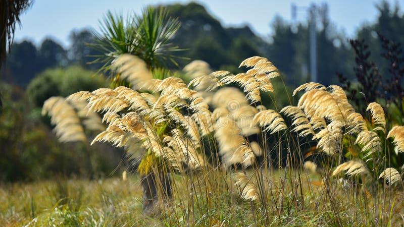 Hierba larga del toitoi a lo largo del banco de Travis Wetland Nature Heritage Park en Nueva Zelanda fotos de archivo libres de regalías