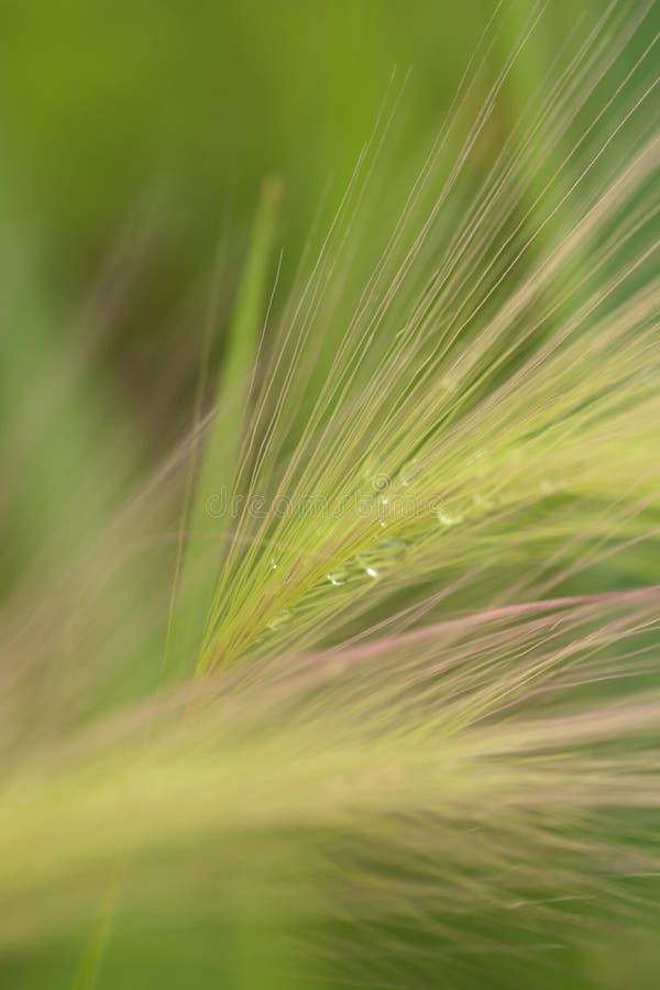 Hierba larga whispy verde que sopla en la brisa leve fotografía de archivo