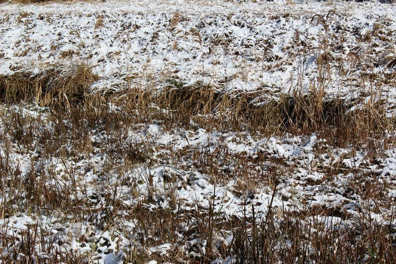 Hierba nevada en un riverbank en Japón imágenes de archivo libres de regalías
