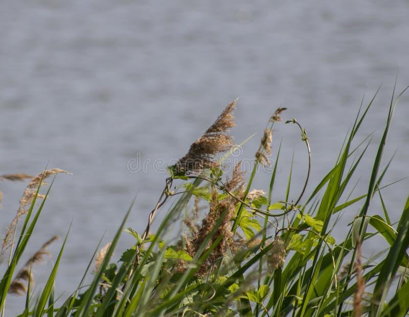Hierba que crece al lado de un lago foto de archivo