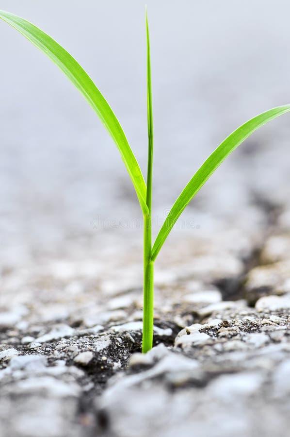 Hierba que crece de la grieta en asfalto imagen de archivo